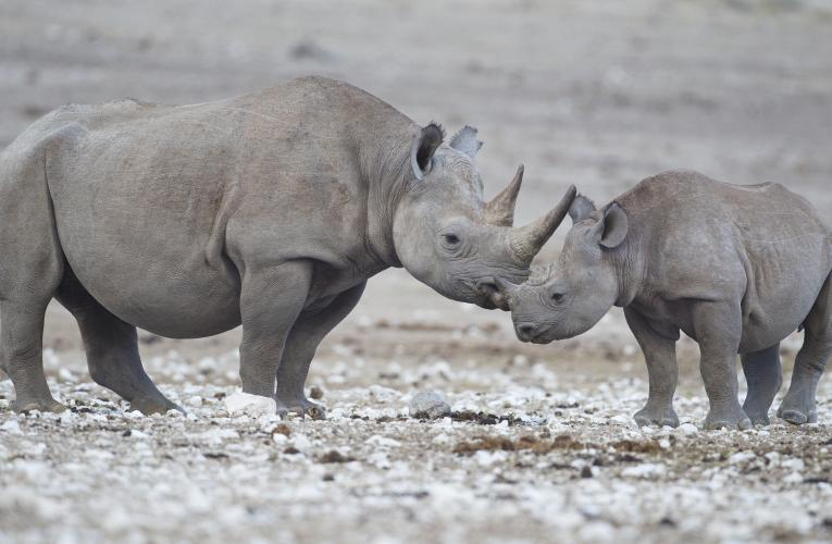 A mother black rhino and her calf