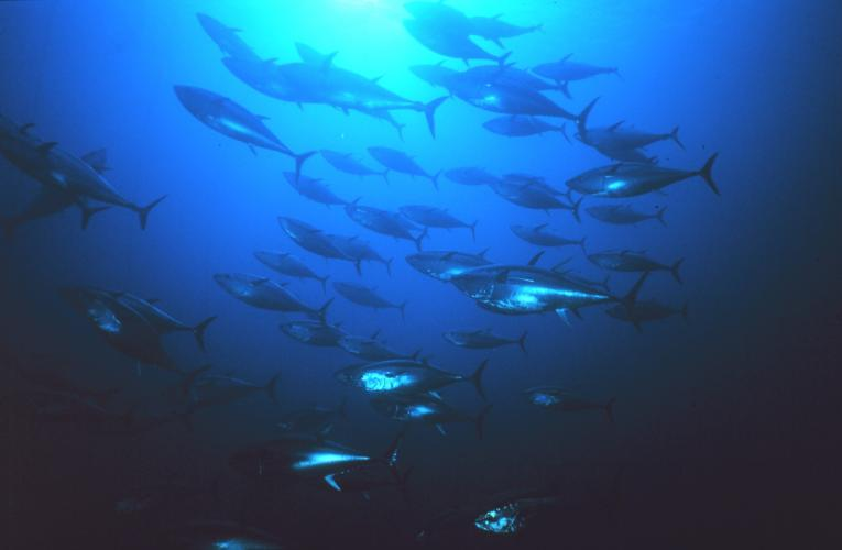 A school of tuna fish