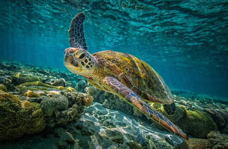 Marine tortoise swimming