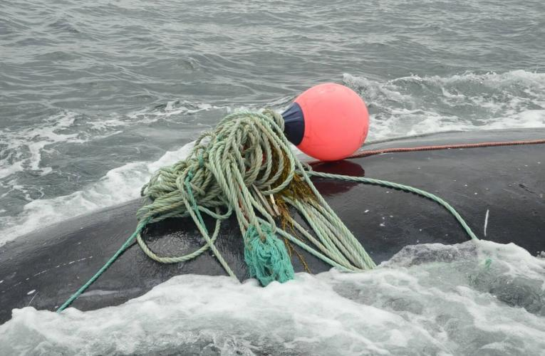 Fishing gear entangles a North Atlantic right whale